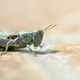 Brown locust resting on the ground - PhotoDune Item for Sale