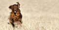 Happy pet dog running in the field - PhotoDune Item for Sale