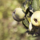 Quince apple fruits on the tree branch in autumn - PhotoDune Item for Sale