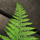 Fern growing in Spring in the garden - PhotoDune Item for Sale