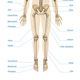 Realistic Human Skeletal System Infographics