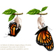 Butterfly Metamorphosis Horizontal Set