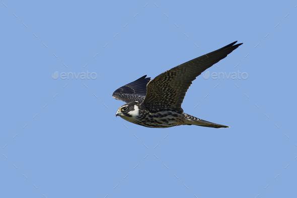 Eurasian hobby (Falco subbuteo) - Stock Photo - Images