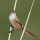 Bearded reedling (Panurus biarmicus) - PhotoDune Item for Sale