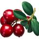 Lingonberry vaccinium vitis-idaea, paths - PhotoDune Item for Sale