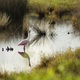 A Solo Roseate Spoonbill Wading Bird Takes A Drink of Water - PhotoDune Item for Sale