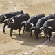 Fighting bulls in the arena. Bullring. Toro bravo. Spain. Horizontal - PhotoDune Item for Sale