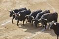 Fighting bulls in the arena. Bullring. Toro bravo. Spain. Horizontal - PhotoDune Item for Sale