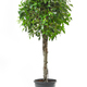 Ficus tree on a white background - PhotoDune Item for Sale