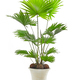 Livistona palm tree - PhotoDune Item for Sale