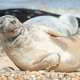 happy seal pup - PhotoDune Item for Sale