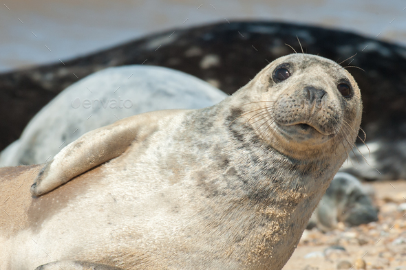 seal pup close-up - Stock Photo - Images