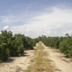 Ripe Limes on the Tree Deep South Agriculture Fruit Orchard - PhotoDune Item for Sale