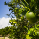 Ripe Lime on the Tree Deep South Agriculture Fruit Orchard - PhotoDune Item for Sale