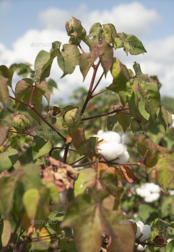 Cotton Plants Grow High Deep South Agriculture USA - Stock Photo - Images