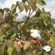 Cotton Plants Grow High Deep South Agriculture USA - PhotoDune Item for Sale