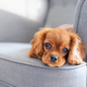 Cute puppy lying on the armchair - PhotoDune Item for Sale