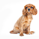 Cavalier spaniel puppy - PhotoDune Item for Sale