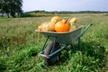 Different kind of pumpkins in wheelbarrow - PhotoDune Item for Sale