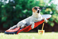 Jack russel terrier dog lies on a deck-chair - PhotoDune Item for Sale