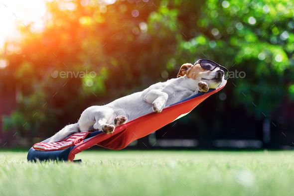 Jack russel terrier dog lies on a deck-chair - Stock Photo - Images