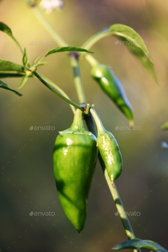 Green jalapeno hot pepper in garden closeup - Stock Photo - Images