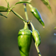 Green jalapeno hot pepper in garden closeup - PhotoDune Item for Sale