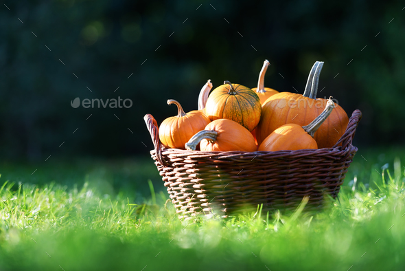 Different kind of pumpkins in garden basket - Stock Photo - Images