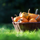 Different kind of pumpkins in garden basket - PhotoDune Item for Sale