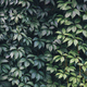 Texture of ivy leaves closeup. Green wall. - PhotoDune Item for Sale