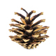 Pine cone on white background - PhotoDune Item for Sale