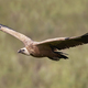 Griffon vulture (Gyps fulvus) - PhotoDune Item for Sale