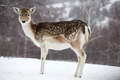 Deer in wintertime - PhotoDune Item for Sale