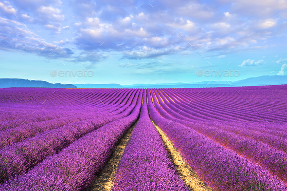 Lavender flower blooming fields endless rows. Valensole provence - Stock Photo - Images