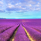 Lavender flower blooming fields endless rows. Valensole provence - PhotoDune Item for Sale