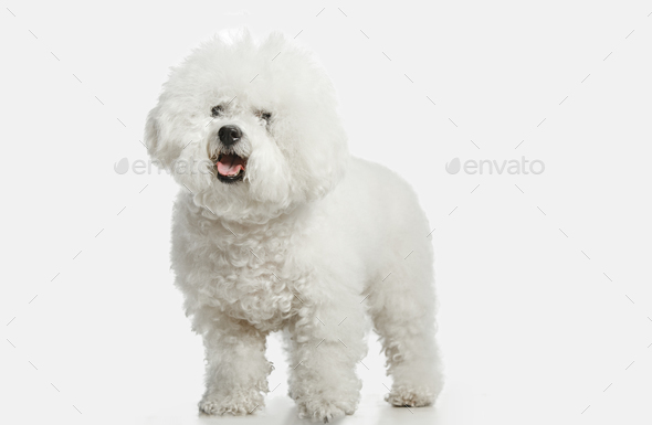 A dog of Bichon frize breed isolated on white color - Stock Photo - Images