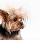 Yorkshire terrier - head shot, against a white background - PhotoDune Item for Sale
