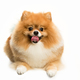 cute Little young pomeranian cob isolated over white background - PhotoDune Item for Sale