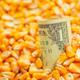 One US dollar bill in harvested corn kernels heap - PhotoDune Item for Sale