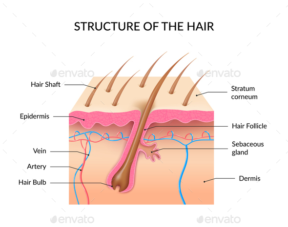 Realistic Human Hair Anatomy Infographics By Macrovector Graphicriver
