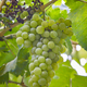 Bunch of grapes with green leaves background. Harvest time. Vertical - PhotoDune Item for Sale