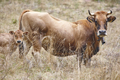 Cow with his calf in the countryside. Cattle, livestock. Mammal - PhotoDune Item for Sale