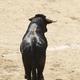 Fighting bull in the arena. Bullring. Toro bravo. Spain. Horizontal - PhotoDune Item for Sale