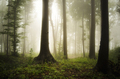 green forest on rainy summer day with trees in fog - PhotoDune Item for Sale