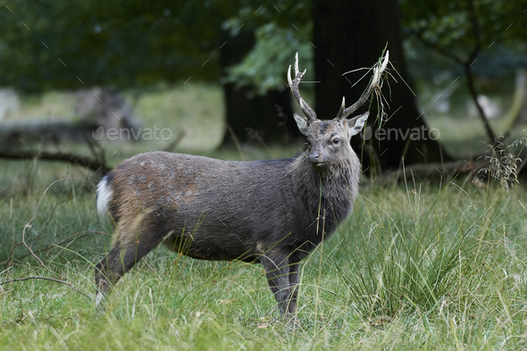 Sika deer (Cervus nippon) - Stock Photo - Images