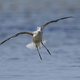 Common greenshank (Tringa nebularia) - PhotoDune Item for Sale
