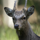 Sika deer (Cervus nippon) - PhotoDune Item for Sale