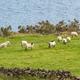 Sheep in Ireland - PhotoDune Item for Sale