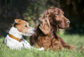 Pet friendship - lazy dogs resting in the grass - PhotoDune Item for Sale