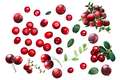 Cranberries and lingonberries, paths - PhotoDune Item for Sale